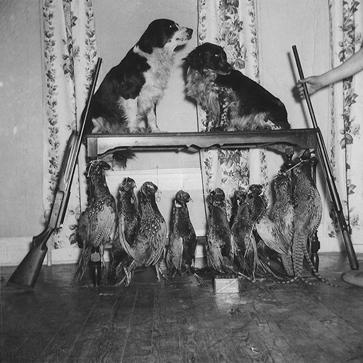 Photo of John's dogs Butch and Mike with shotguns and pheasants